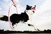 Sheepdog jumping through a hoop
