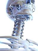 Neck bones, illustration
