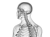 Upper body bones, illustration