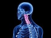 Cervical spine, illustration