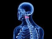 Axis vertebrae, illustration