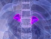 Male adrenal glands, illustration