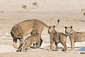 Lioness disciplining cubs