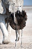 Male southern ostrich