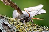 Poplar hawkmoth