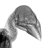 Hawfinch head,X-ray