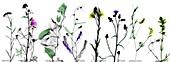 Wildflowers,X-ray