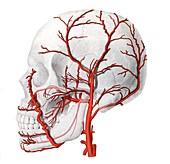 External carotid artery,illustration