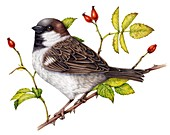 House sparrow on rose,illustration