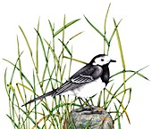 Pied wagtail on stone,illustration