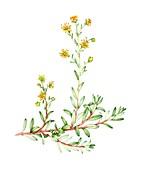 Yellow saxifrage (Saxifraga aizoides),illustration