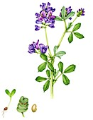 Alfalfa (Medicago sativa),illustration