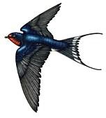 Barn swallow in flight,illustration