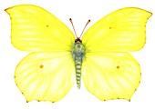 Brimstone (Gonepteryx rhamni) butterfly,illustration