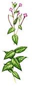 Broad-leaved willowherb (Epilobium montanum),illustration
