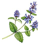 Catnip (Nepeta cataria),illustration