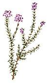 Cross-leaved heather (Erica tetralix),illustration