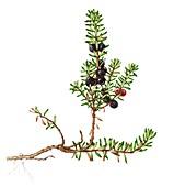 Crowberry (Empetrum nigrum),illustration