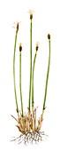 Deergrass (Scirpus cespitosus),illustration