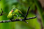 Orange-chinned parakeets