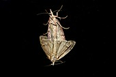 Two moths mating on a window pane