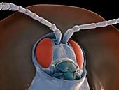 Tortoise beetle,SEM