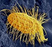 Fresh water ciliate protozoan,SEM