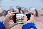 Tourist taking photo of gentoo penguins