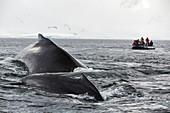 Humpback whale and dinghy