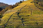 Terraced vineyards in Wachau,Austria