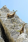 Ibex on Mount Pilatus,Switzerland