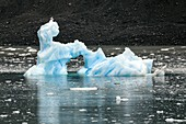 Iceberg with glaucous gull,Greenland