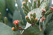 Flowering prickly pear (Opuntia sp.)