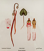 Persian cyclamen (Cyclamen persicum) flower,illustration