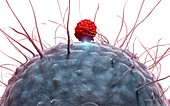 Dendritic cell and T cell,illustration