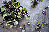 Fresh kalette from the garden