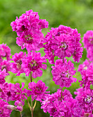 Lychnis viscaria Frou-Frou 'Double Pink'