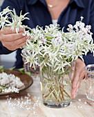 Frau steckt Strauß aus Blüten von Leontopodium alpinum 'Blossom of Snow'