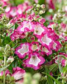 Penstemon Pentastic™ 'Rose'