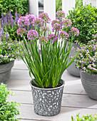 Allium senescens 'Millenium'