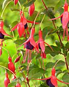 Fuchsia magellanica 'Mrs Popple'