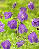 Campanula x pulloides 'G.F. Wilson'