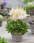 Astilbe chinensis 'Visions in White'