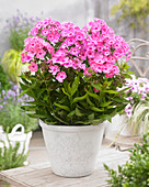 Phlox paniculata 'Sweet Summer Candy'