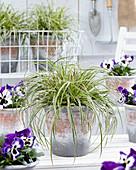 Carex EverColor® 'Evercream' und Viola wittrockiana