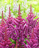 Astilbe chinensis 'Visions in Red' ®