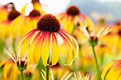 Echinacea purpurea 'Fiery Meadow Mama'