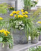 Topf mit Carex EverColor® 'Evercream', Coreopsis und Campanula