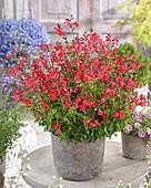 Salvia greggii Arctic Blaze® 'Red'