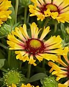 Gaillardia x grandiflora 'Fanfare Citronella'